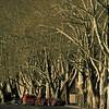 sycamores along Memorial Drive
