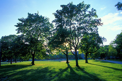 trees in Cambridge Common