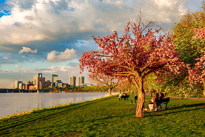Cherry Tree in Bloom on the Esplanade