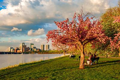 Cherry Tree in Bloom on the Esplanade