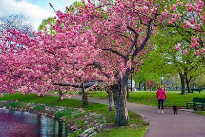 Cherry Trees on the Esplanade