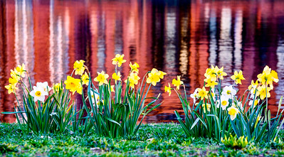 Daffodils on the Esplanade