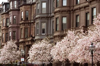 Magnolias bloom in Boston's Back Bay neighborhood