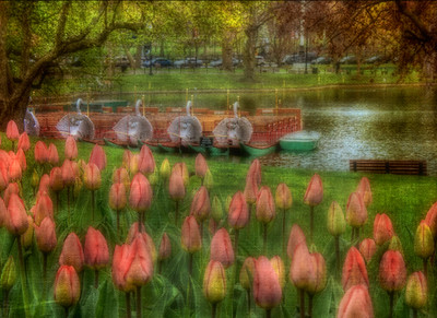 Swan Boats and Tulips