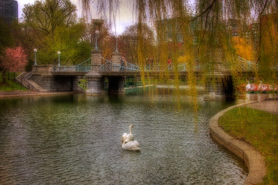 Boston Public Garden Swans