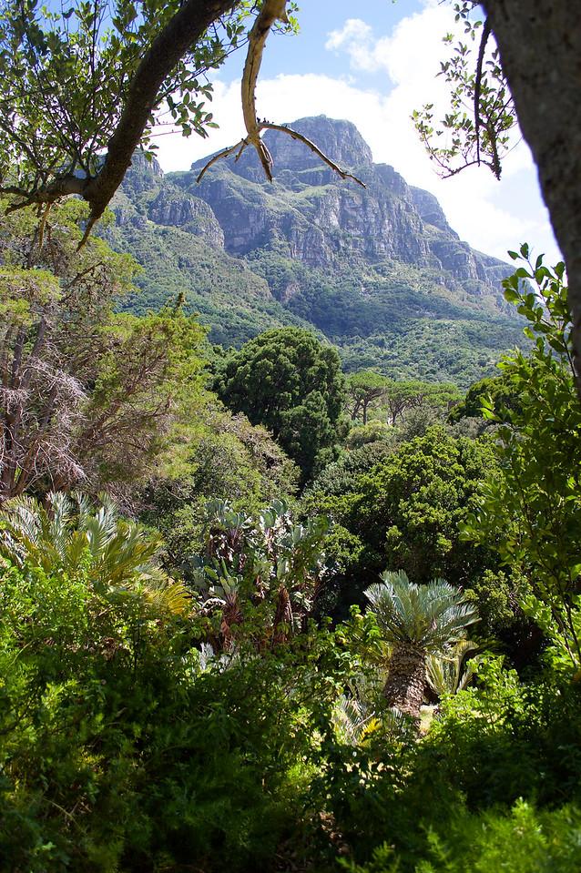 Table Mountain, seen from Kirstenbosch Botanic Gardens, South Africa.