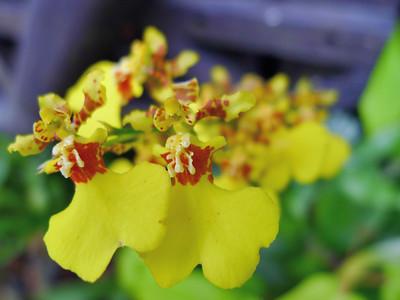 Genus Oncidium, Orchidaceae
