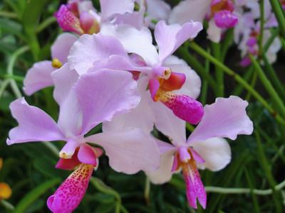 Genus Vanda, Orchidaceae