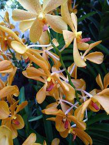 Genus Mokara, Orchidaceae