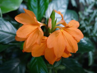 Crossandra infundibuliformis, Acanthaceae