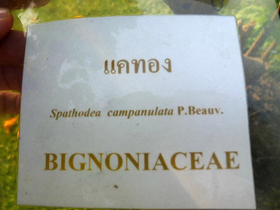 Spathodea campanulata, Bignoniaceae