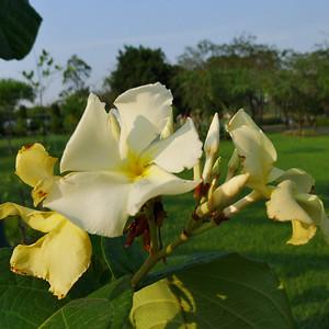 Chonemorpha fragrans, Apocynaceae