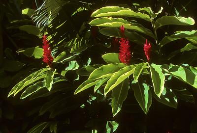 Maui Ginger BO4C3