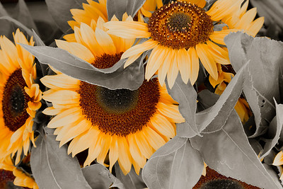 Sunflowers 0055cs