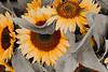 Sunflowers 0055cs