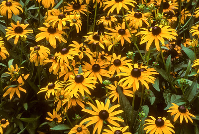 Black-eyed Susans BO4C4