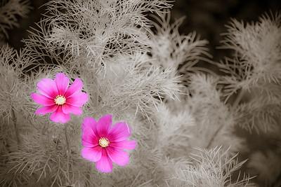 Flowers in a Dream 0249cs