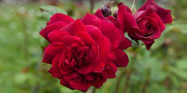 GG Roses 7303