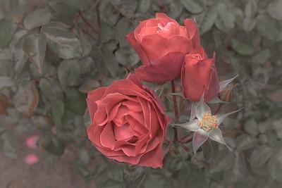 Hot Cocoa Roses 7246cs