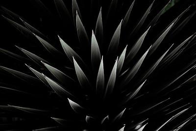 Yucca BO11A2cs