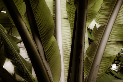 Banana Leaf Green  BO5C2cs