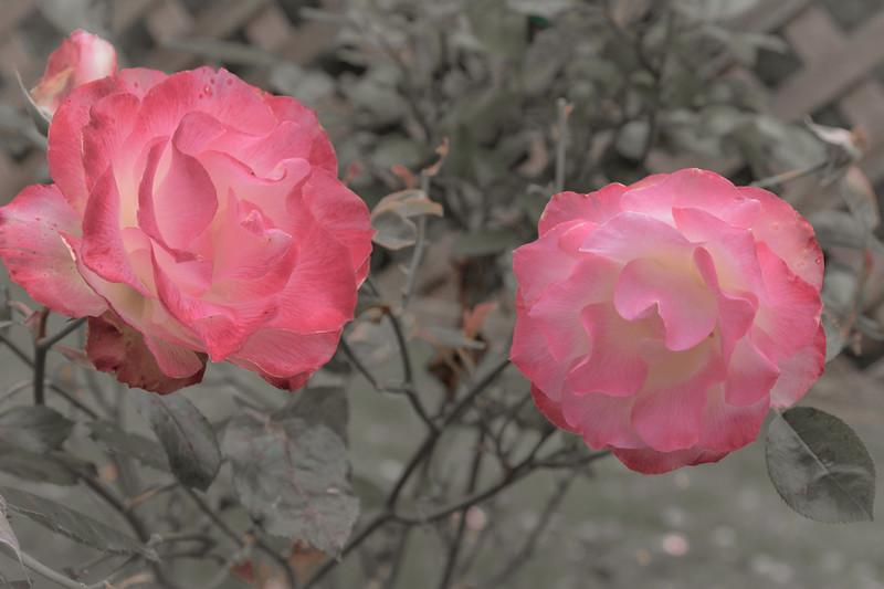 Two Pinks 7219cs