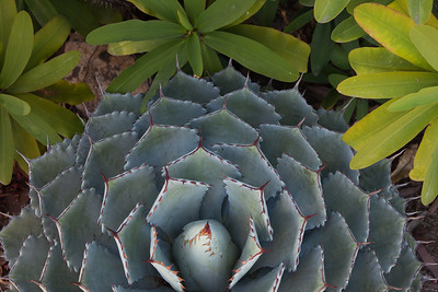 Ominous Agave 9515