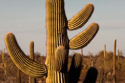 Organ Pipe Cactus 5505