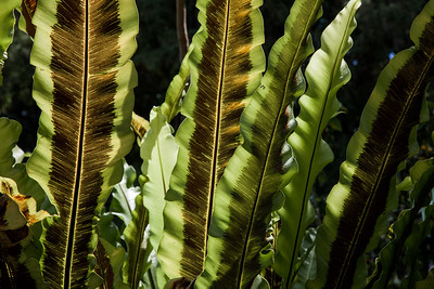 Bird's Nest Fern  1242