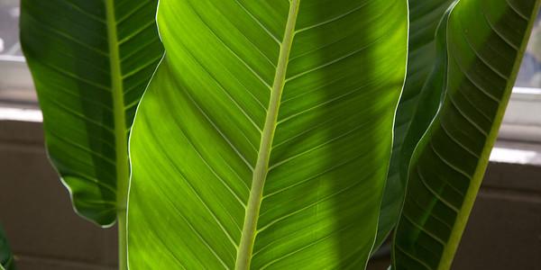 Leaf Veins 1287