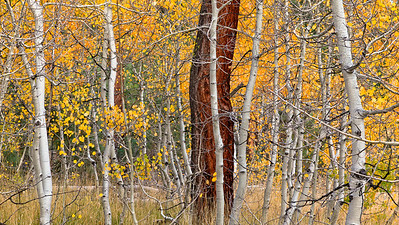 Late Autumn Aspens 3631