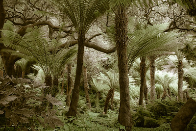 Fern Tree Forest 0240cs