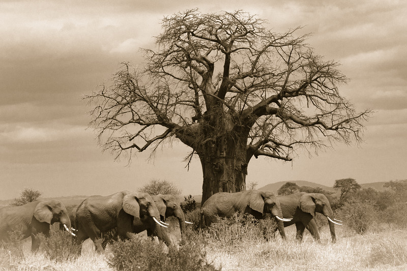 Baobob & Elephants 4654cs