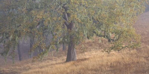Oak and Moss 8576
