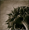 Sunflower 25