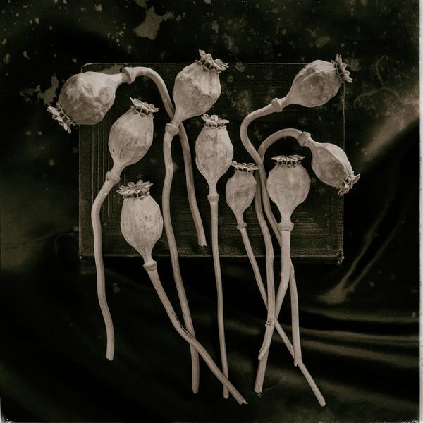 Poppy 06