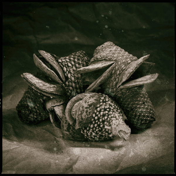 Banksia 96