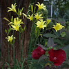 Malvaceae - <br /> Midnight Marvel Hibiscus and Asphodelaceae - Daylily