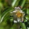 Stewartia rostrata - Upright Stewartia