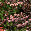 Physocarpus opulifolius - Little Devil™ Ninebark / 'Donna May'