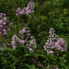 Syringa pubescens subsp. patula 'Miss Kim' - Manchurian Lilac