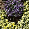 Violaceae - <br /> Pansy