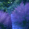 Pretty pink plants -<br /> Common Name: Pink Muhly<br /> Scientific Name: Muhlenbergia capillaris