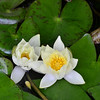 Nymphaeaceae - <br /> Water Lily