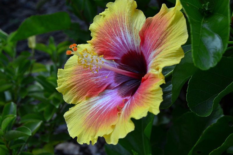 Hibiscus rosa-sinensis - HibisKiss™ Spin the Bottle™