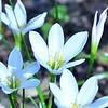 Amaryllidaceae - <br /> Zephyranthes atamasco - Atamasco Lily, Rain Lily