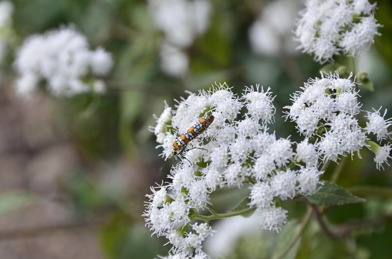 Atteva aurea - Ailanthus webworm moth