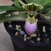 Paphiopedilum chamberlainianum - Slipper Orchid