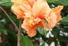 Botanical Center   Des Moines, IA<br /> <br /> Double Hibiscus