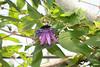 Botanical Center   Des Moines, IA<br /> <br /> Passion Flower and vine